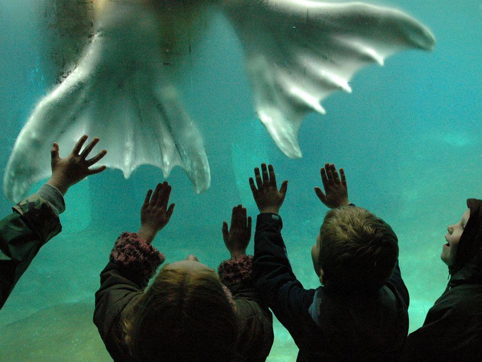 一頭長達3.7米的雌海豹在戲弄她的獵物---鵝幼崽,這精彩的一幕被攝影師PaulNicklen盡收眼底。他說:她把幼企鵝甩到我的相機上,然後張開大口,將我的腦袋連同相機咬住,經歷了膽顫心驚的45分鍾後,她終於放開了我,然後去品嘗企鵝。補充:南極的海豹會潛伏在冰層下面,悄悄等待成群入水捕食的企鵝,他們會放過排頭兵然後在水中挑選弱小者下口。然而海豹卻是聞訊而來的逆戟鲸(也叫虎鲸)的食物,當然在溫暖海域捕食他們的是鲨魚,在北極捕食他們的是北極熊-----貌似兇猛的海豹。